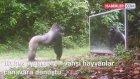 Vahşi Hayvanlar Ormanda Kendilerini Aynada Görünce Şaşırıyorlar Oradan Ayrılmak İstemiyorlar