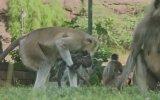 Oyuncak Maymuna Üzülen Gerçek Maymunlar