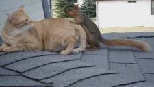 kedi ile sincabın harika dostluğu