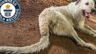 Dünyanın En Uzun Kuyruğuna Sahip Köpeği Keon