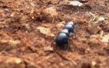 Bok Böcekleri Çiftleşme Çabaları