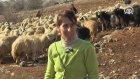 Kadın Çobanın Ekmek Kavgası