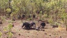Şempanzelerin Diktatör Şempanzeyi Öldürüp Yemesi
