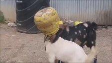 İnatçı Keçilerin Kafaları Aynı Kovaya Sıkıştı