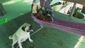 Yavrularını Hamakta Sallayan Köpek