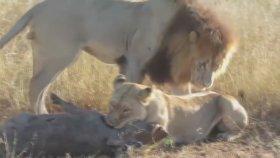 Avını Öldüren Dişiyle Sevişmek İsteyen Erkek Aslan