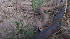 Yılanların Kavgası Ölümle Bitti