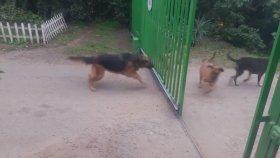 Kapı Varken Avlayıp Kapı Açılırken Avlamayı Bırakan Köpekler
