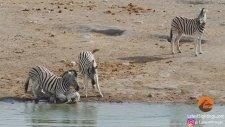 katil zebra