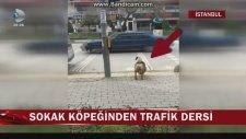 Sokak Köpeğinden Trafik Dersi
