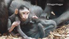 Yavru Maymunun Tüm Dikkatleri üzerine Çekmesi