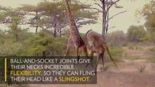 Kavgacı Zürafalar