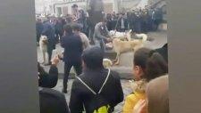 Kayseri Meydanında Sivas Kangalları İle Hollandaya Protesto