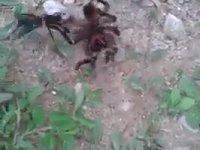 Yaban Arısı vs. Örümcek