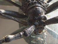 Dev Titan Böceği - Cerambyx Cerdo