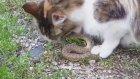 Yılanı Canlı Canlı Yiyen Kedi
