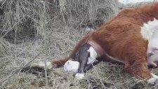 Hereford Cow Calving