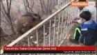 Tunceli'de, Yaban Domuzları Şehre İndi
