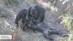 Ölen Arkadaşlarının Dişlerini temizleyen Şempanzeler