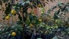 Yediveren Bodur Limon Fidani Saksili Meyvali Karadeniz