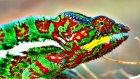Bukalemunlar Nasıl Renk Değiştirir?