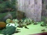 cüce vatozlar
