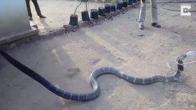 Kobraya Pet Şişeden Su İçiren Adam Gibi Adamlar