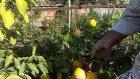Limon Fidani Saksili Meyvalı Whsapp