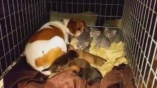 Annesi Ölen Yavru Kedilere Bakan Köpek