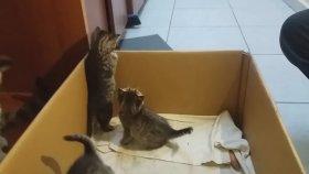 Büyüyen Yavru Kedilerin Yuvayı Terketme Yarışı