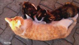 Emzirmesi İçin Annesini İkna Eden Yavru Kedi