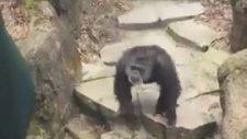 Kadının Burnuna Dışkısını Çivileyen Şempanze