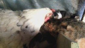 Kedi Yavrularına Annelik Yapan Tavuk
