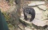 Yaşlı Kadının Burnuna Dışkısını Tokat Gibi Yapıştıran Şempanze