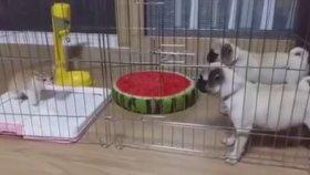 Yavru Köpeklerle Aynı Kafeste Kalan Yavru Kedi