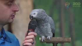 Papağanın Hayvan Seslerini Taklit Etmesi