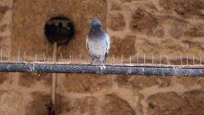 Sivas'ta Çivili Kuşsavar Hayvanseverlerden Tepki Gördü