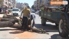 Salihli'de, Cadde Düzenlemesinde Ağaçlar Kesildi