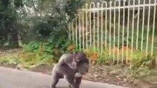 Sırtında Yavrusunu Taşırken Osuran Koala