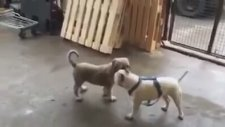 Yavru Kangal ve Yavru Pitbull Kavgası