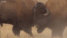 Bison Battle - Yellowstone - BBC