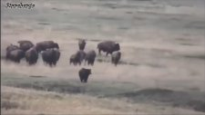 Bison vs Grizzly Bear - Wild Animal Interaction