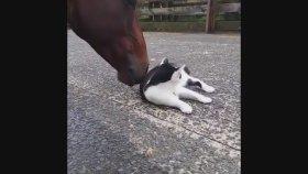 Ata Kendini Sevidirip Mayışan Kedi