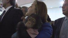 Fatma Şahin'in Şempanze İle İmtihanı