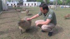 Her Gün Masaj Yapılan Tapirler - Bursa Hayvanat Bahçesi