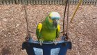 Salıncak Sevdalısı Çılgın Papağan!