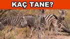 Burada Kaç Zebra Var? - Resimli Dikkat Etti