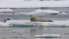 Kutup Ayısının Fok Balığına Yaptığı Sürpriz