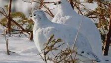İki Keklik Bir Kayada Ötüyor Türkü