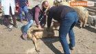 Malatya'da Koyun Kırkım Kursu